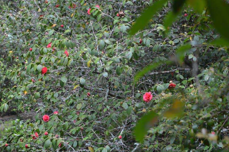 Rosebush von kleinen Blumen nahe bei Palacio Quinta De La Reagaleira In Sintra Natur, Architektur, Geschichte, Stra?en-Fotografie lizenzfreies stockbild
