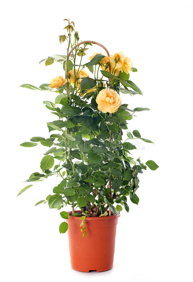 Rosebush. Yellow rosebush in front of white background stock images