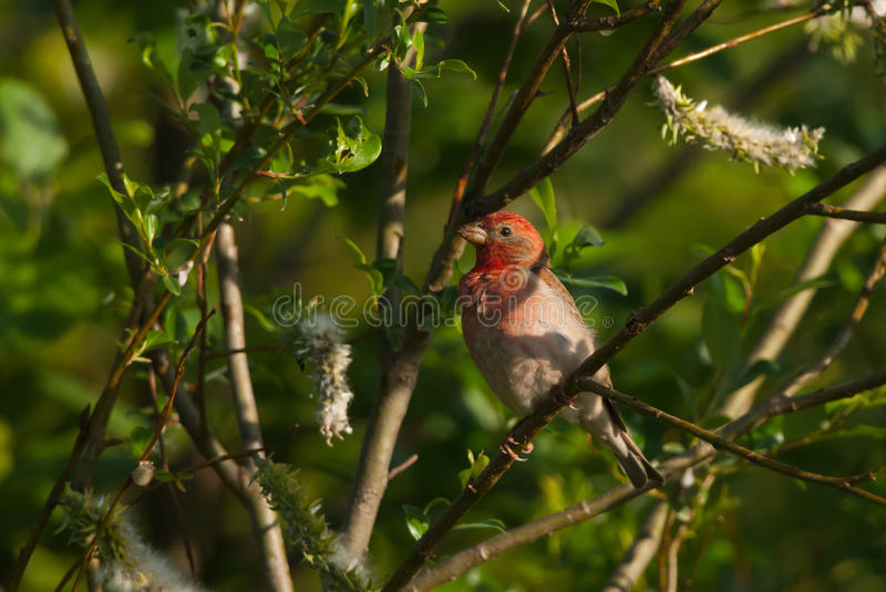 Rosefinch. Common Rosefinch on a branch with catkins royalty free stock image