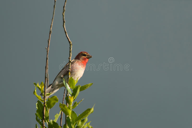 Rosefinch. Common Rosefinch on the treetop, grey sky stock images