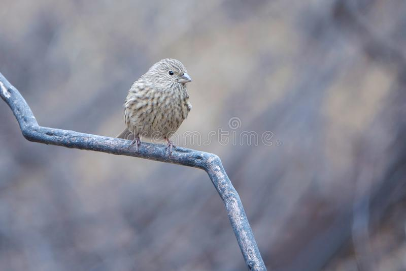 Rosefinch Long-tailed image stock