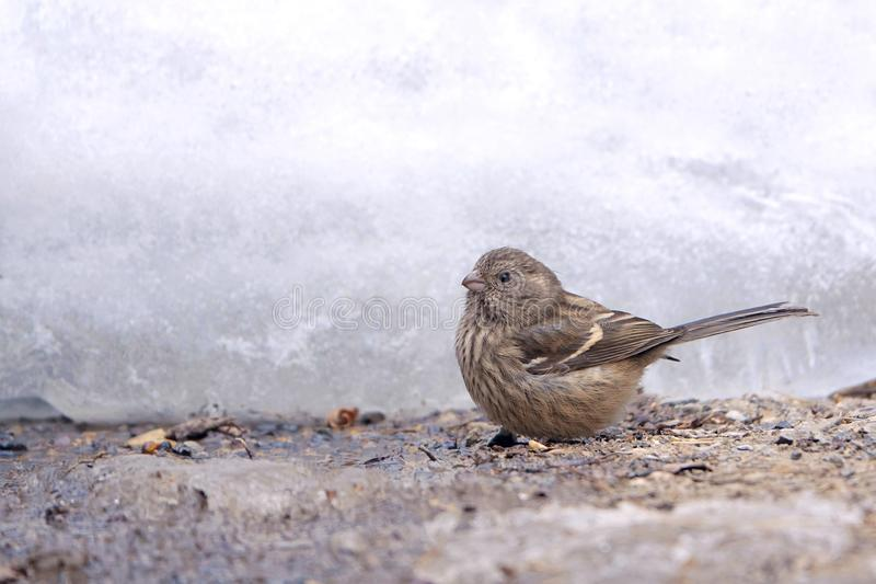 Rosefinch Long-tailed images stock