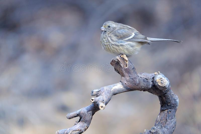 Rosefinch Long-tailed photographie stock