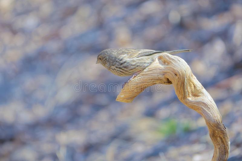 Rosefinch Long-tailed image libre de droits