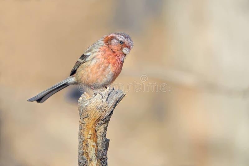 Rosefinch Long-tailed photo libre de droits