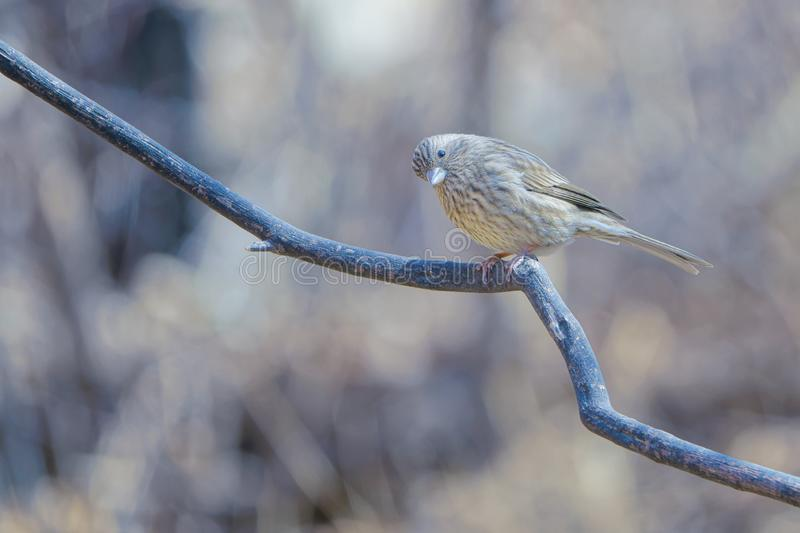 Rosefinch Long-tailed photo stock