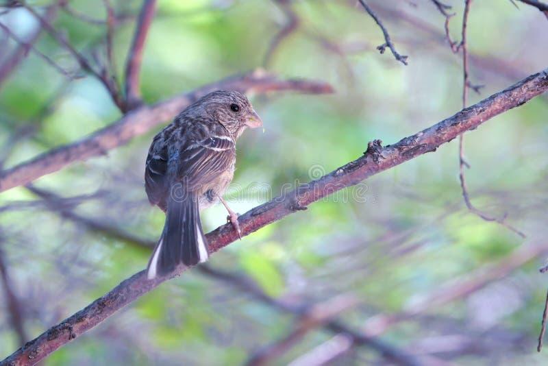 Rosefinch Long-tailed photos libres de droits