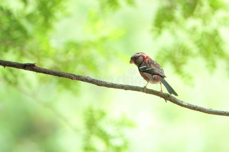 Rosefinch Long-tailed photos stock
