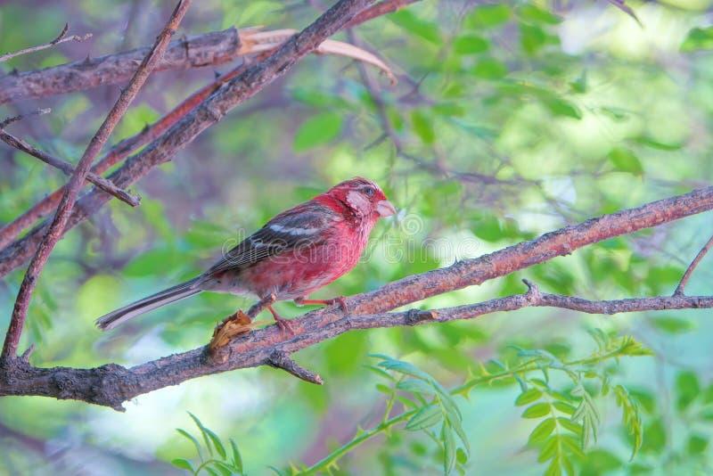 Rosefinch Long-tailed images libres de droits