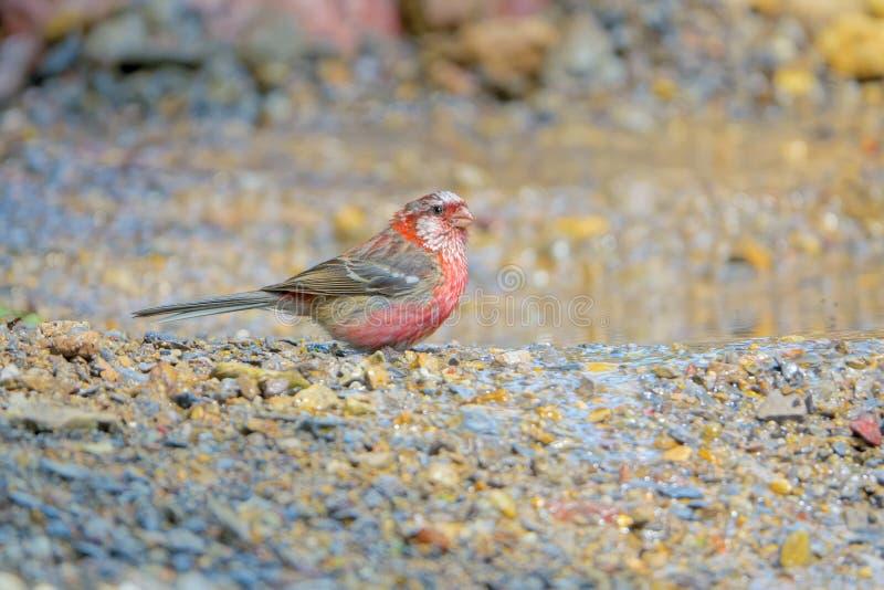 Rosefinch Long-tailed photographie stock libre de droits