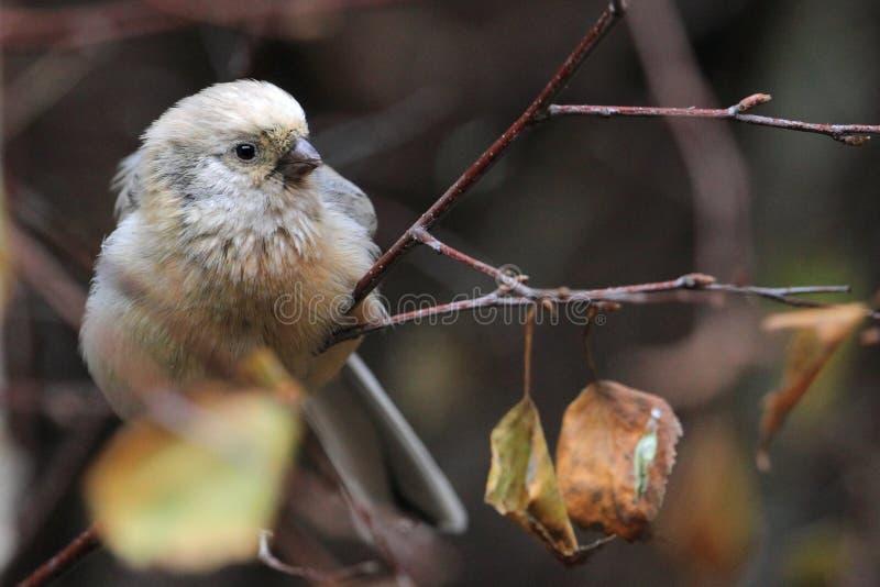 Rosefinch met lange staart royalty-vrije stock afbeeldingen