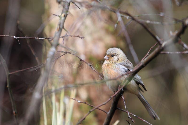 Rosefinch met lange staart royalty-vrije stock foto