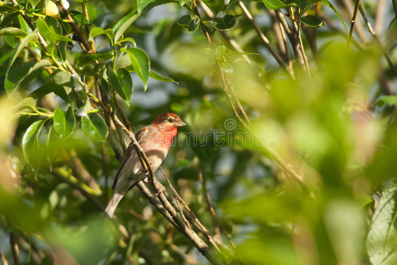 Rosefinch. Common Rosefinch on a branch in summer royalty free stock photo