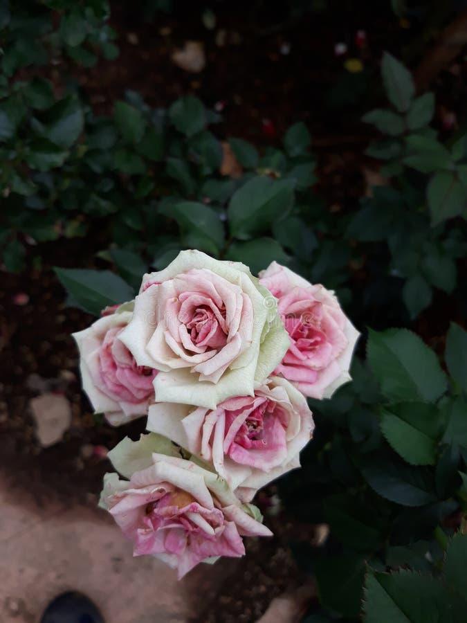 Pink white rose. Roseflower pinkflower whiteflower garden potplant beautiful fresh royalty free stock photos