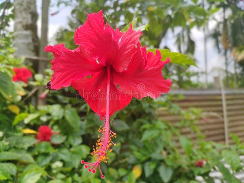 Rosehibiscus della Cina fotografia stock libera da diritti