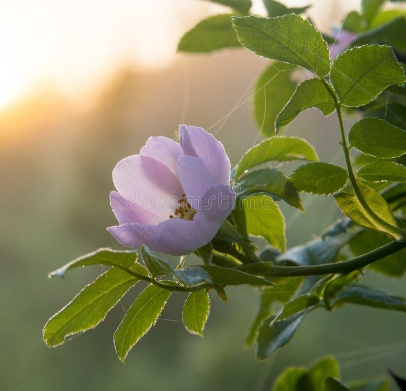 Rosehip λουλούδι στη δροσιά πρωινού στοκ εικόνα