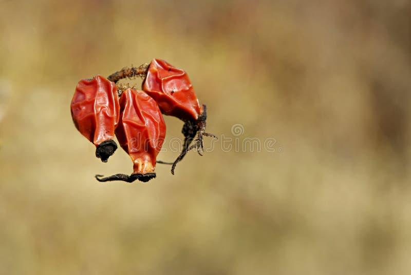 rosehip красного цвета ягод стоковая фотография