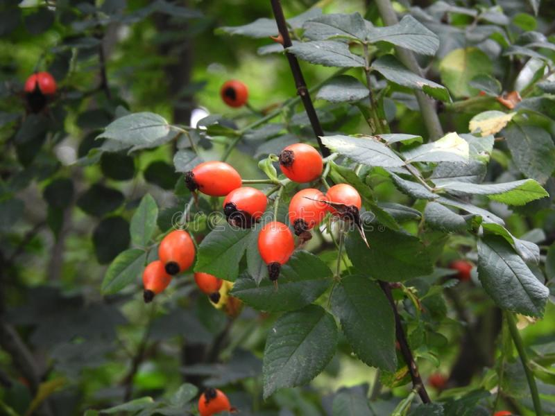 Rosehip berries. Drupes rich in vitamin C royalty free stock photography