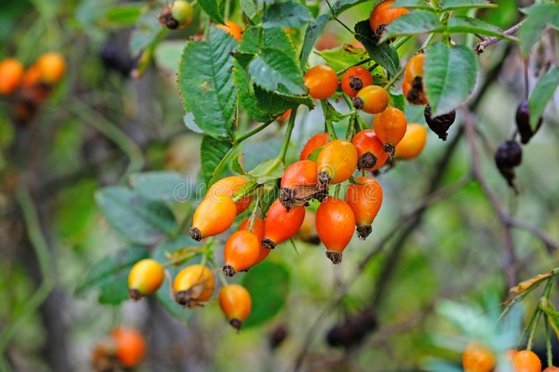 Rosehip branch close-up. Summer season, ripening orange rose hips with green leaves. royalty free stock images