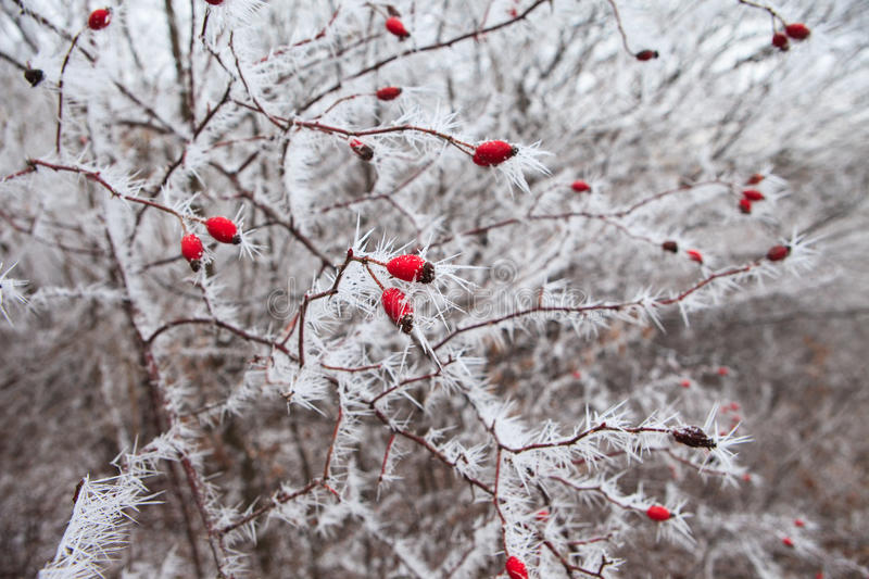 Rosehip branches covered with hoarfrost. stock photo