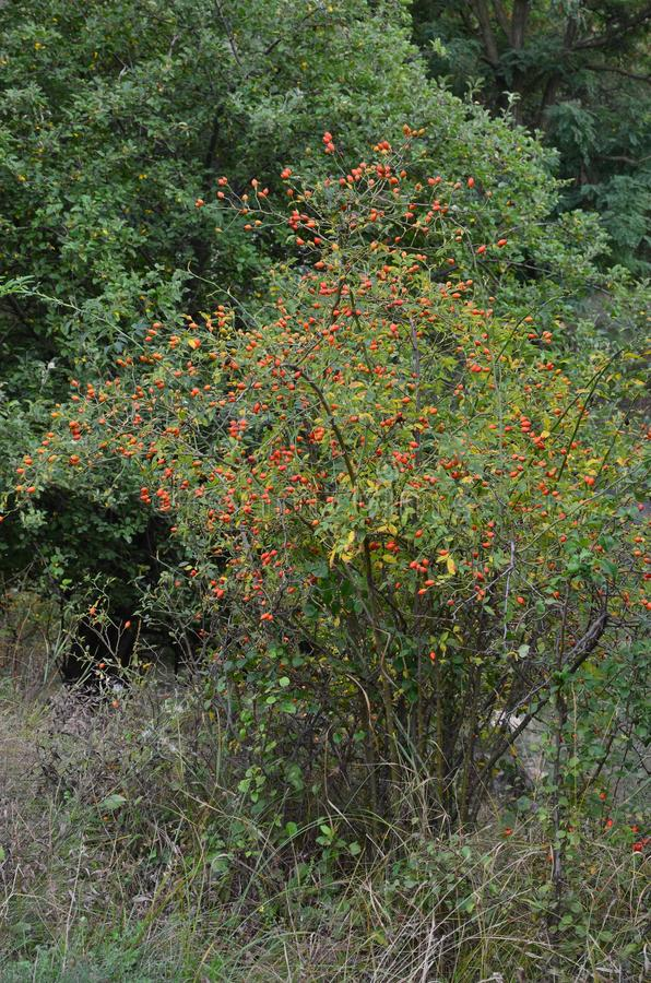 Rosehip bush with berries grows in a beam. Rosehip bush with berries grows on a rural landscape stock photos