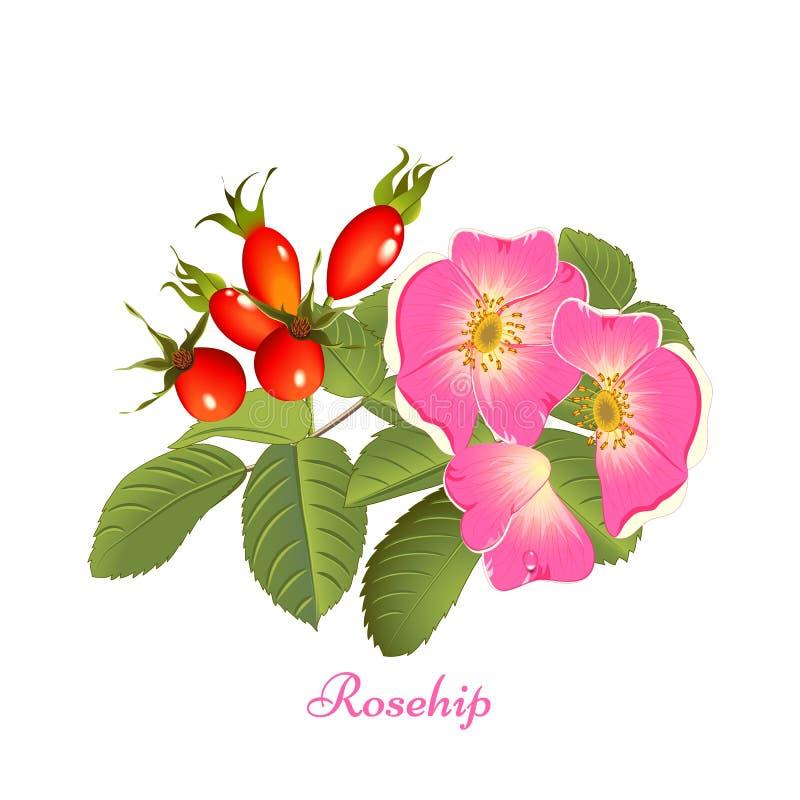 Rosehip da tisana ilustração stock