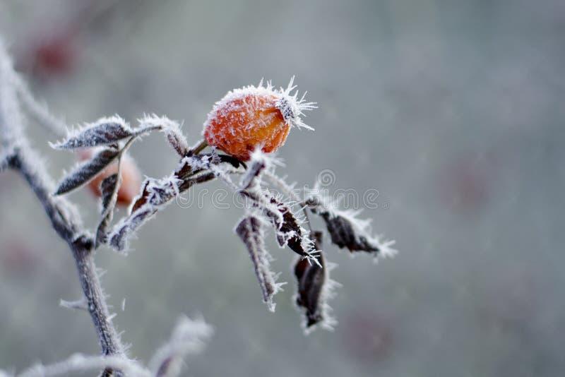 Rosehip jagody w hoarfrost bielu oszronieją igły na gałąź obrazy stock