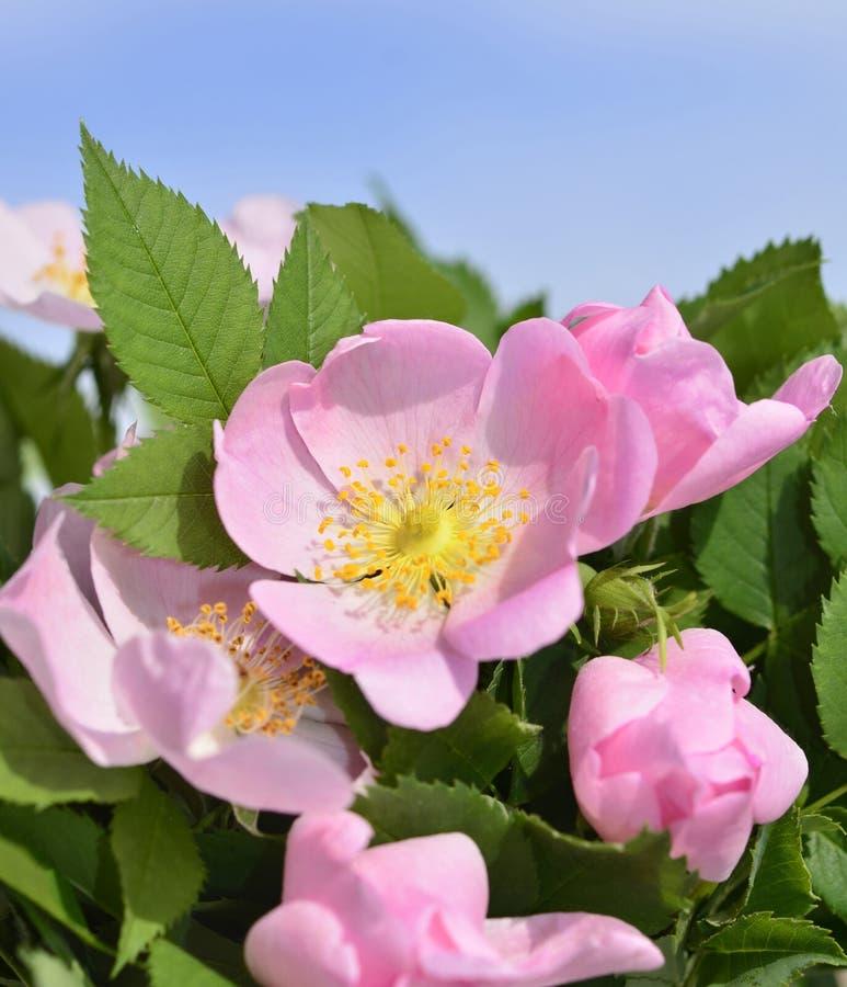 Rosehip kwiat zdjęcie royalty free