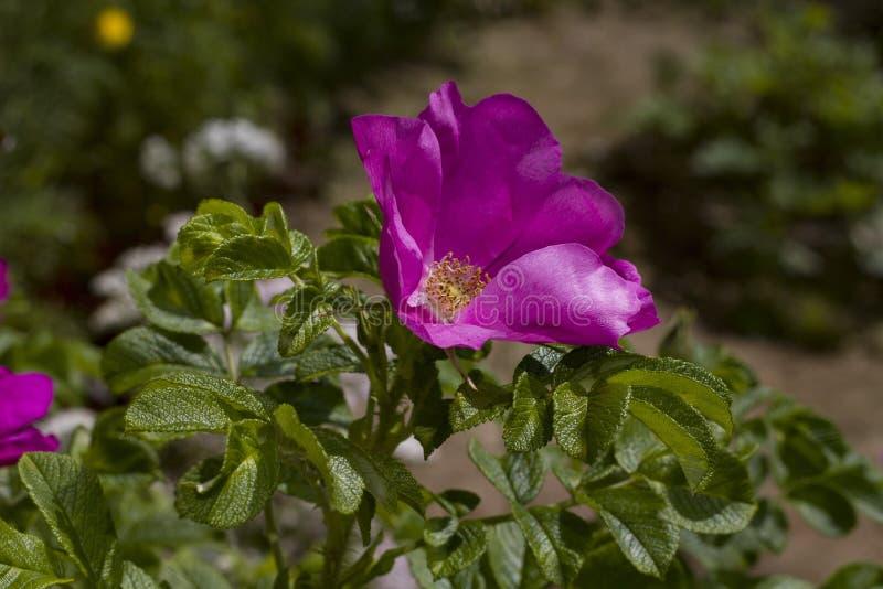 Rosehip kwiaty zamknięci w górę ogródu w obraz royalty free