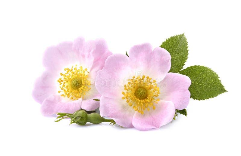 Rosehip kwitnie z liśćmi na białym tle jako depresji wydajny zio?owy hypericum w?a?nie medycyny perforatum cz?stowanie fotografia royalty free