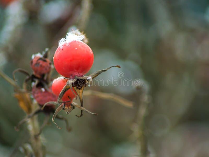 Rosehip owoc z niektóre śniegiem fotografia royalty free