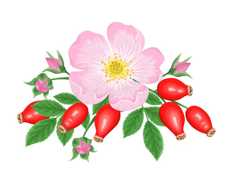 Rosehip Pink flower, red berries and green leaves isolated on white background. Vector illustration of dog rose in simple flat car vector illustration