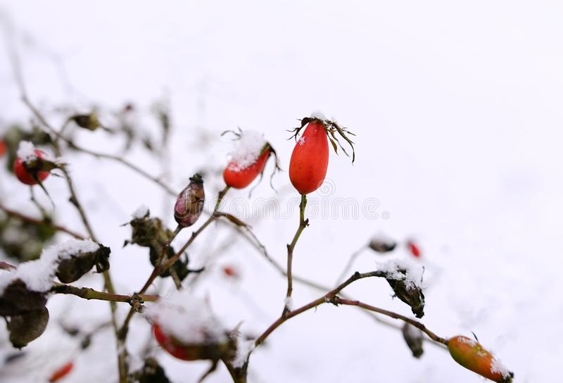 Rosehip red berrys branch bush close-up nature garden day snow winter cold weather. Rosehip red berrys branch bush close-up nature garden day winter snow cold stock photo
