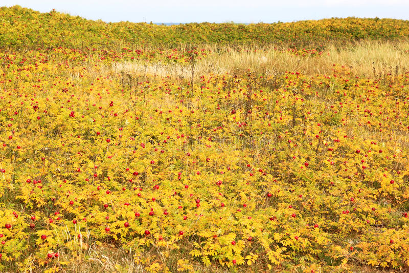 Rosehips in the dunes of Falsterbo, Sweden stock image