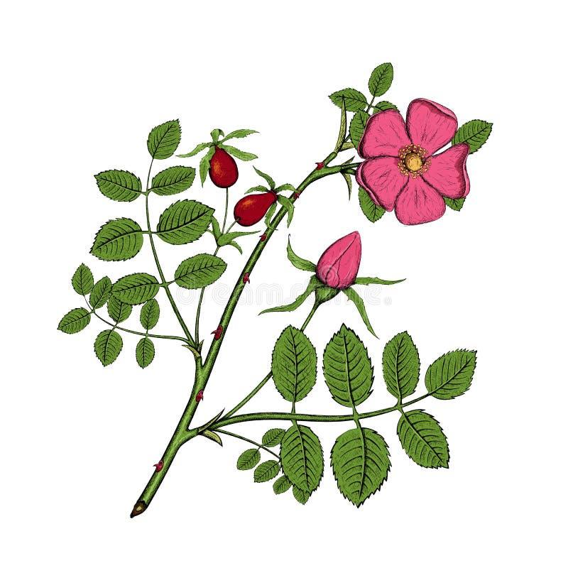 Rosehips Ilustração conservada em estoque ilustração stock