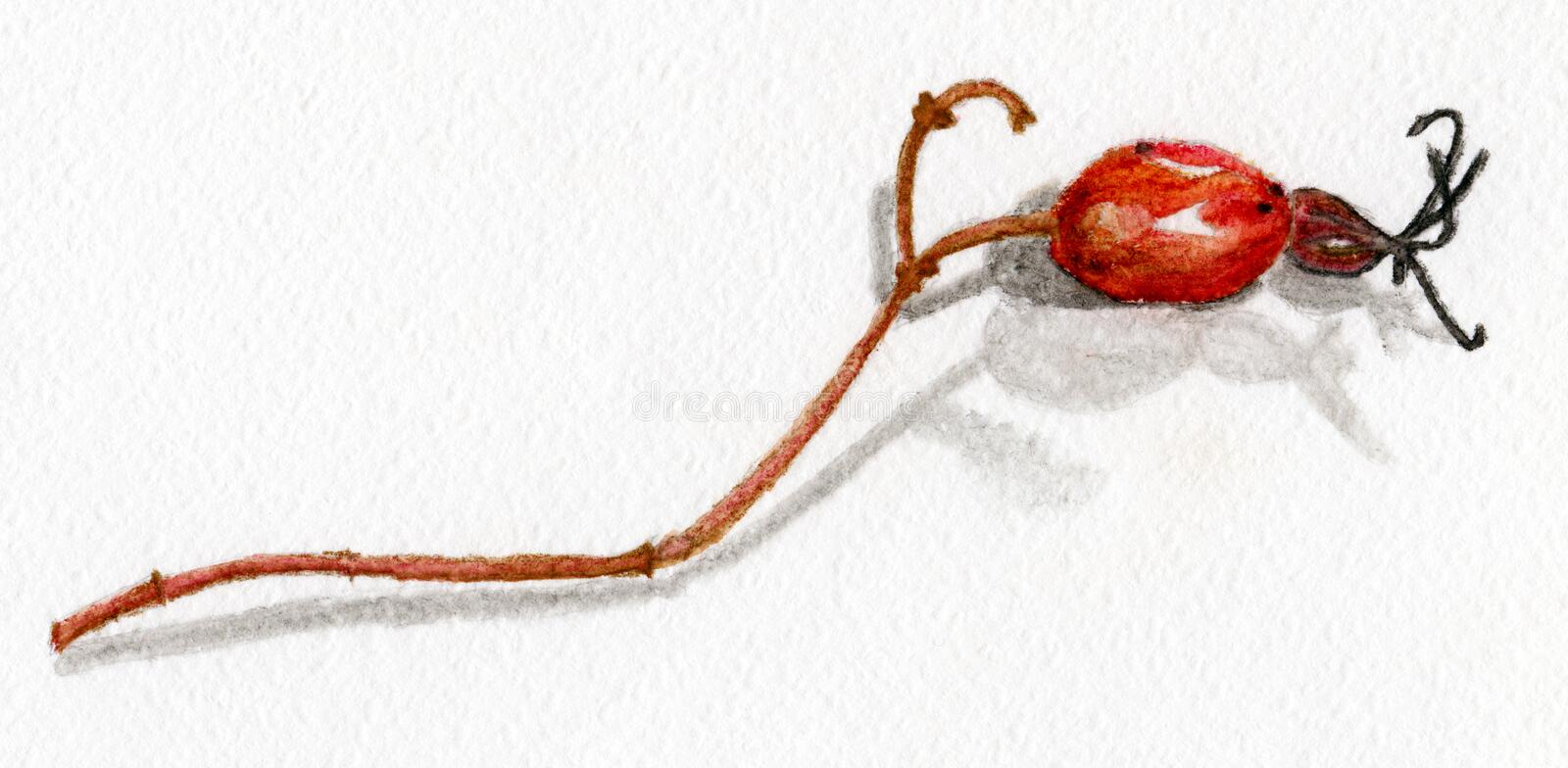 Rosehips watercolor royalty free stock image