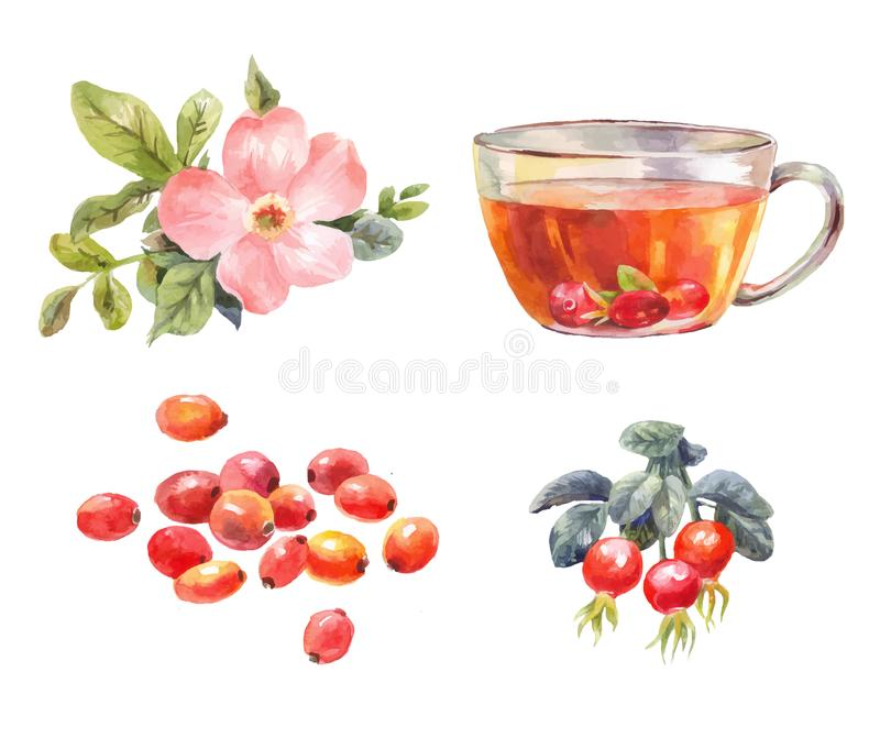 Rosehips watercolor. Tea with rose hips. Flower, berries, and in. Set of rosehips watercolor. Tea with rose hips. Flower, berries, and infusion branch vector illustration