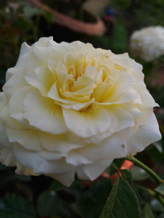Roseii images stock