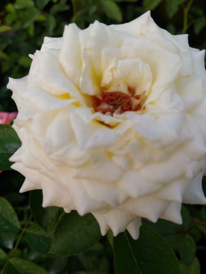 Roseii image stock