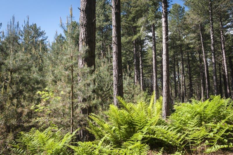 Download Roseisle-Wald stockfoto. Bild von dappled, land, schottland - 96930278