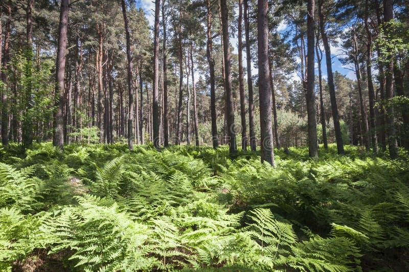 Download Roseisle-Wald stockfoto. Bild von nadelbäume, corsican - 96930304
