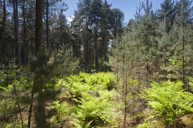 Download Roseisle-Wald stockbild. Bild von biologie, farne, horizontal - 96930397