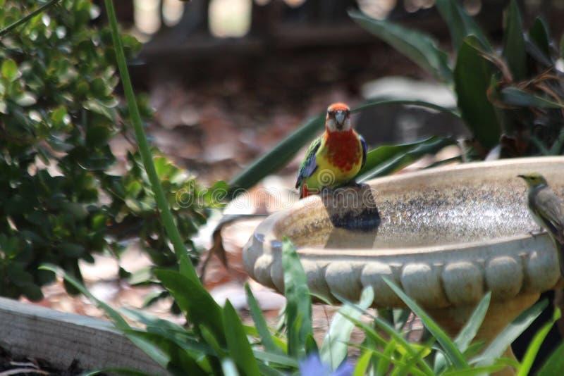 Rosella Bird adentro en mi baño del pájaro fotografía de archivo libre de regalías