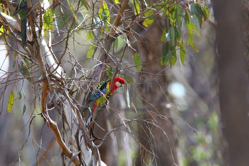 Rosella orientale australiano fotografia stock