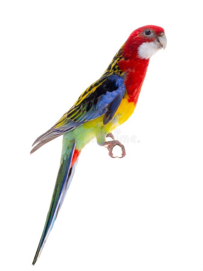 Rosella papuga odizolowywająca obrazy stock