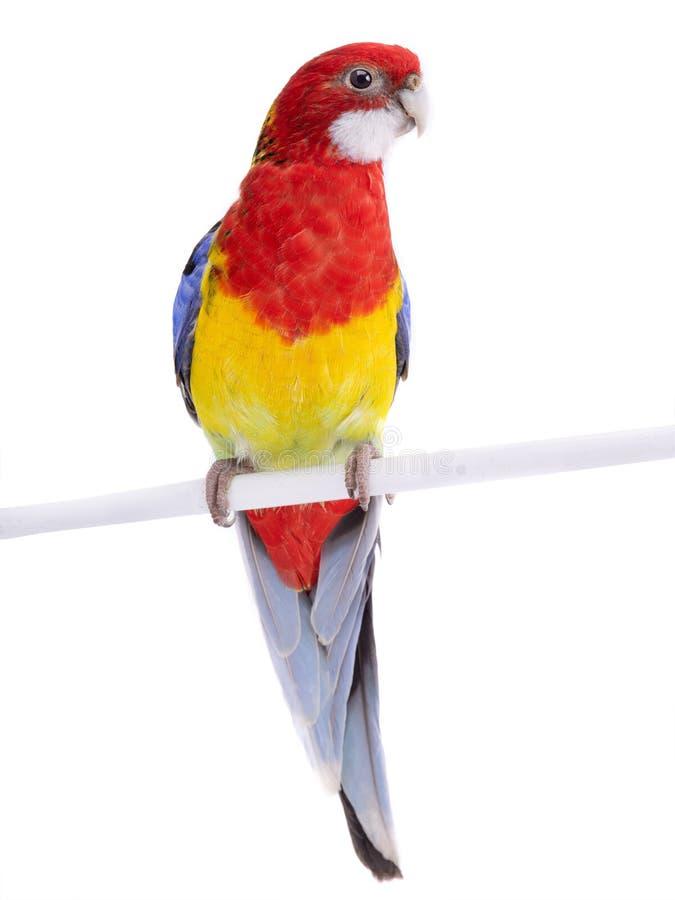 Rosella papuga odizolowywająca zdjęcie stock