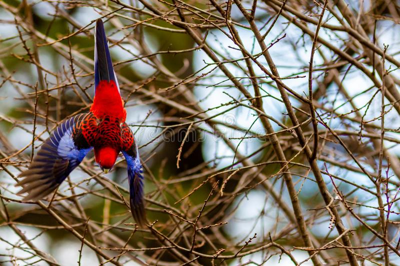 A rosella parrot in flight in Lithgow New South Wales Australia. On 15th June 2018 royalty free stock photos