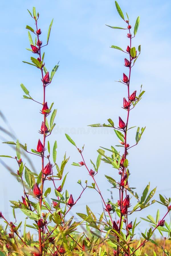 roselle flower plant stock photos