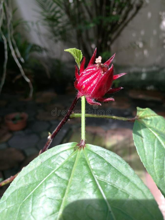 Roselle fruit on tree royalty free stock photos
