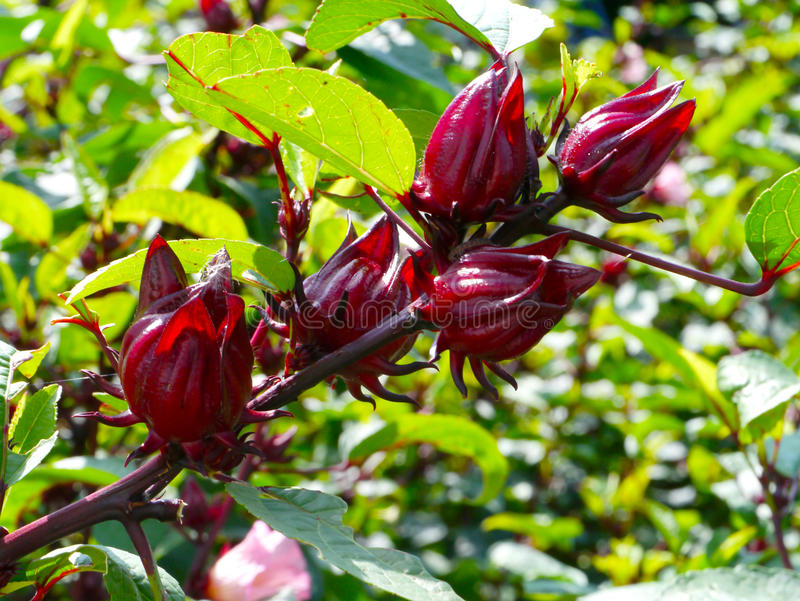 Roselle fruits royalty free stock images